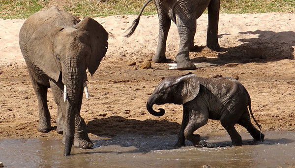 young elephant playing