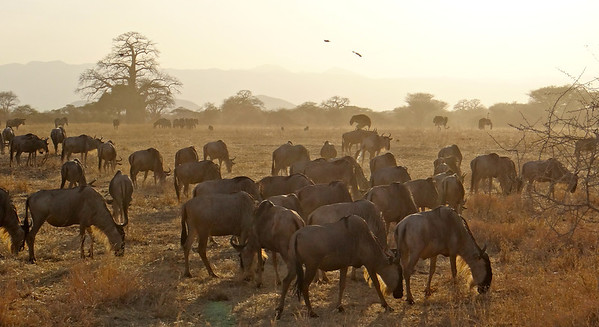 wildebeests and ostriches