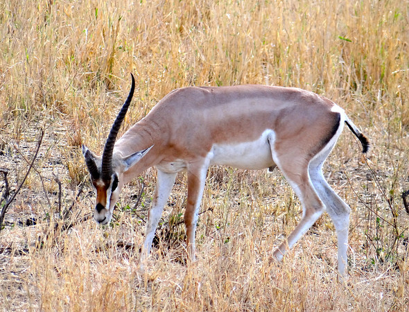 gazelle with only one horn