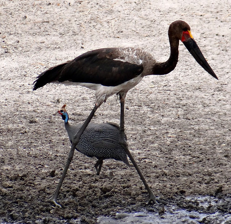 Guinea fowl with a stork